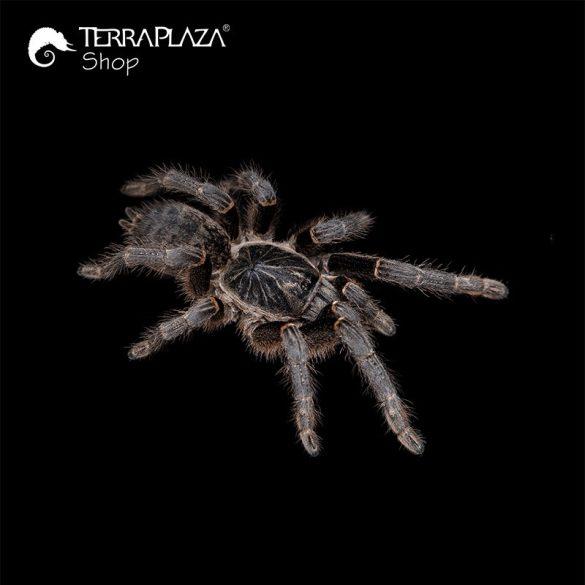 Pterinochilus chordatus madárpók black női póló