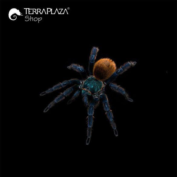 Chromatopelma cyaneopubescens madárpók black női póló