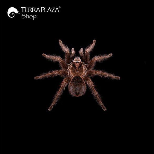 Phormictopus sp. madárpók black női póló
