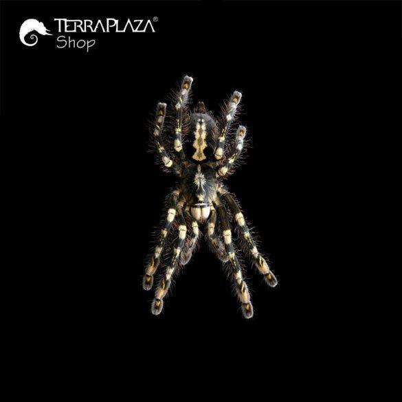 Poecilotheria subfusca madárpók black női póló
