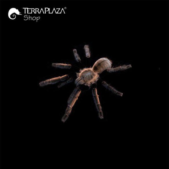Ornithoctonus aureotibialis madárpók black férfi póló