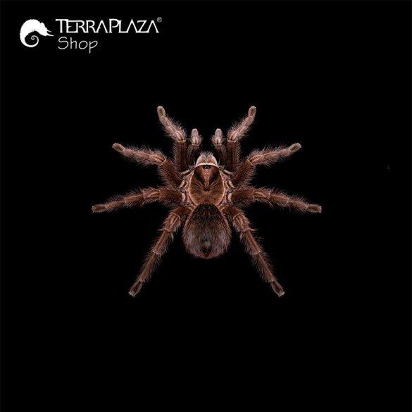 Phormictopus sp. madárpók black férfi póló