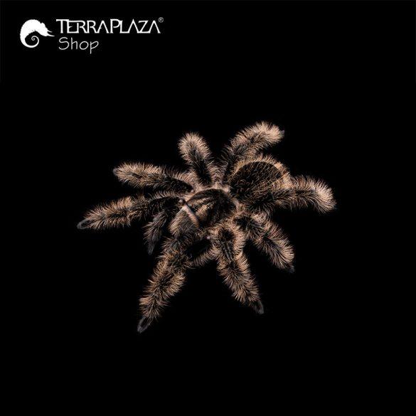 Brachypelma albopilosum madárpók black gyermek póló