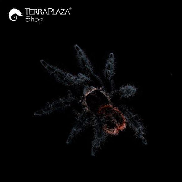 Grammostola actaeon madárpók black gyermek póló