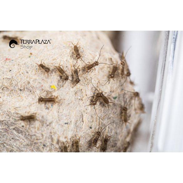 Barna tücsök (Acheta Domesticus) napos, 1-3 mm
