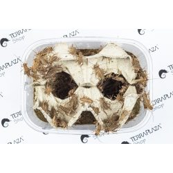 Barna tücsök (Acheta Domesticus) közepes, 1,2-1,8 cm