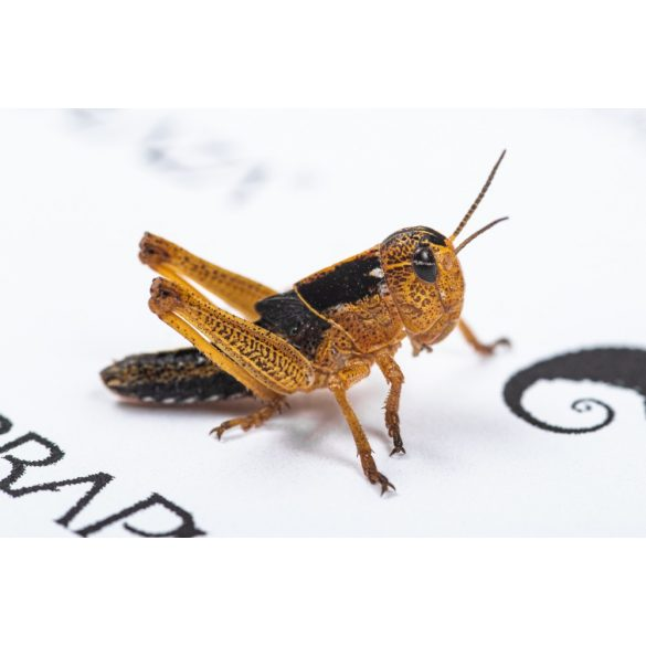 Keleti vándorsáska (Locusta migratoria) kicsi, 1,5-2 cm