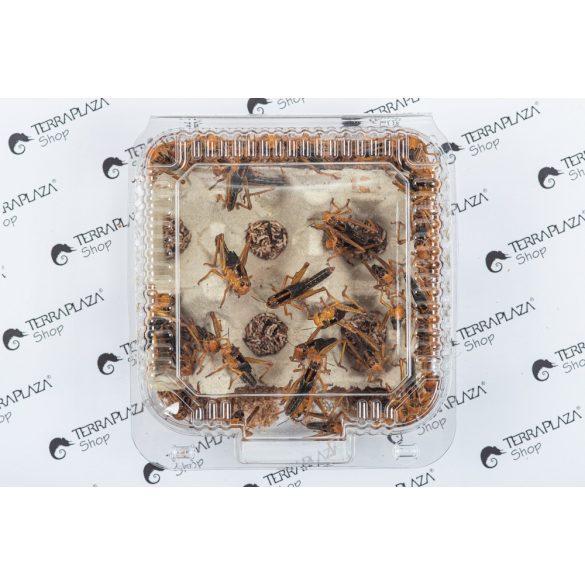 Keleti vándorsáska (Locusta migratoria) közepes, 3-4 cm