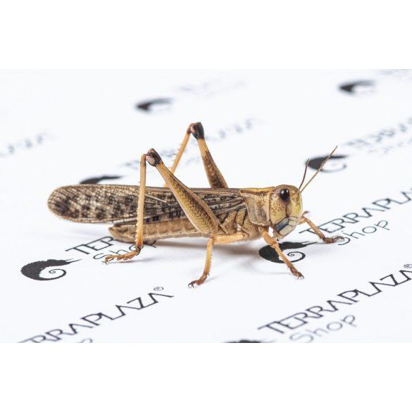 Keleti vándorsáska (Locusta migratoria) nagy, 5-7 cm
