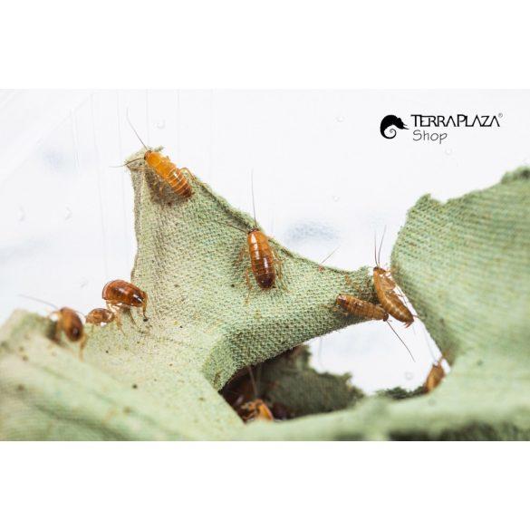 Orosz csótány, Csoki csótány (Blatta lateralis) syn: (Shelfordella tartara) közepes, 4-8 mm