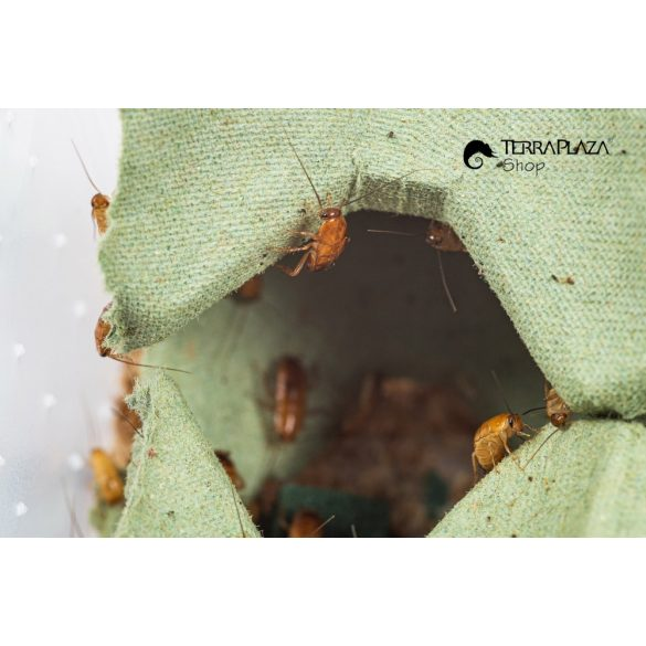 Csoki csótány, Orosz csótány (Blatta lateralis) syn: (Shelfordella tartara) közepes, 4-8 mm