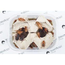 Csoki csótány, Orosz csótány (Blatta lateralis) syn: (Shelfordella tartara) Nagy, 1,8-2,5 cm