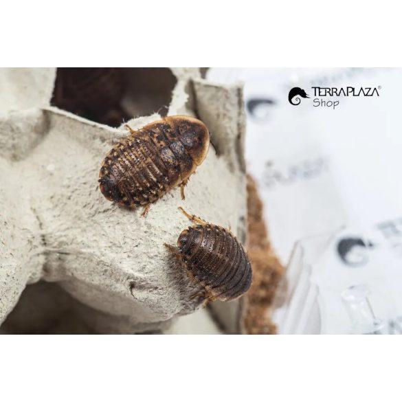 Argentín csótány (Blaptica Dubia) közepes, 2-3 cm