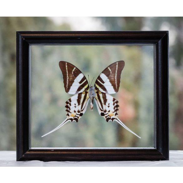 Graphium androcles pillangó (Sulawesi)