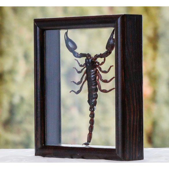 Heterometrus laoticus skorpió (Thaiföld)