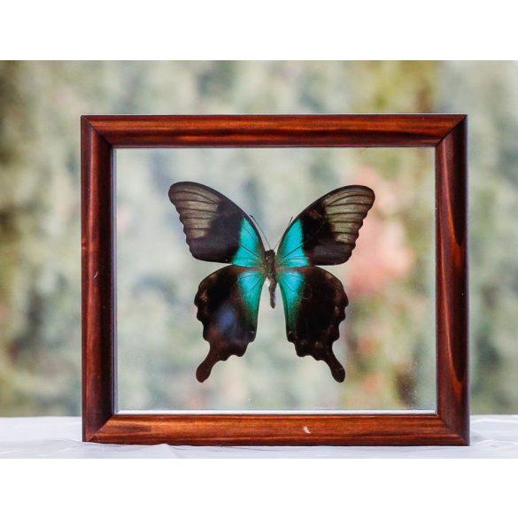 Papilio peranthus kransii pillangó (Sulawesi sziget)
