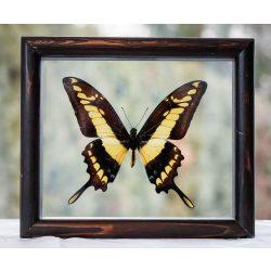 Papilio thoas pillangó (Peru)