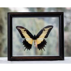 Papilio androgeus pillangó Peruból