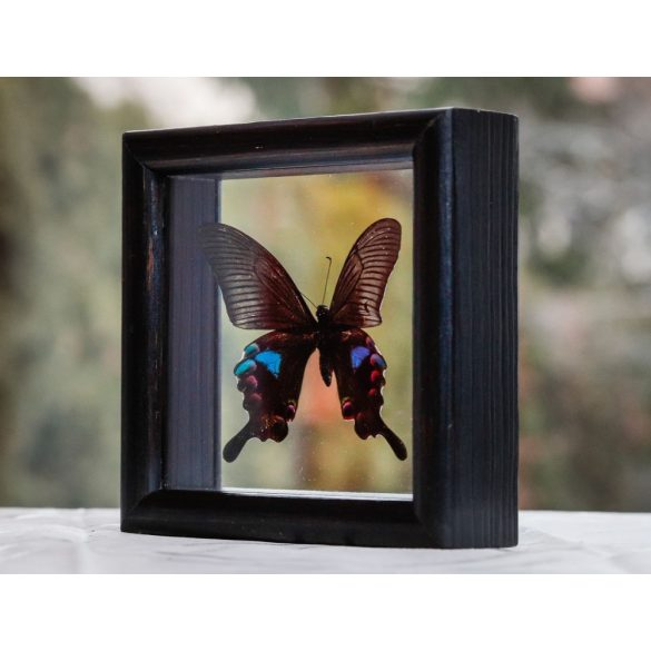 Papilio arcturus pillangó (Thaiföld)