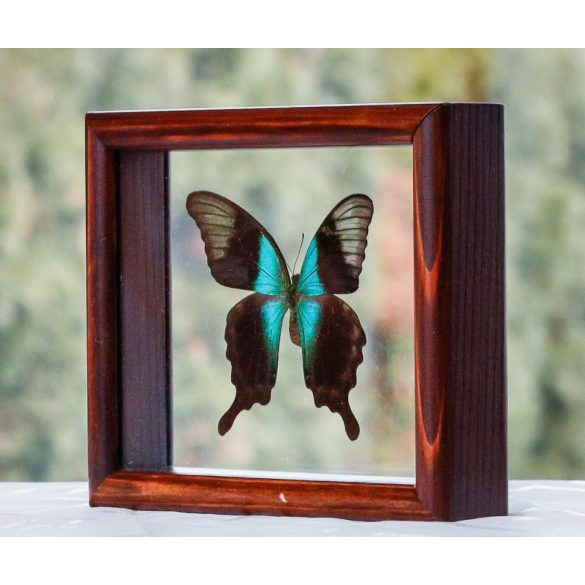 Papilio peranthus transiens pillangó (Indonézia)
