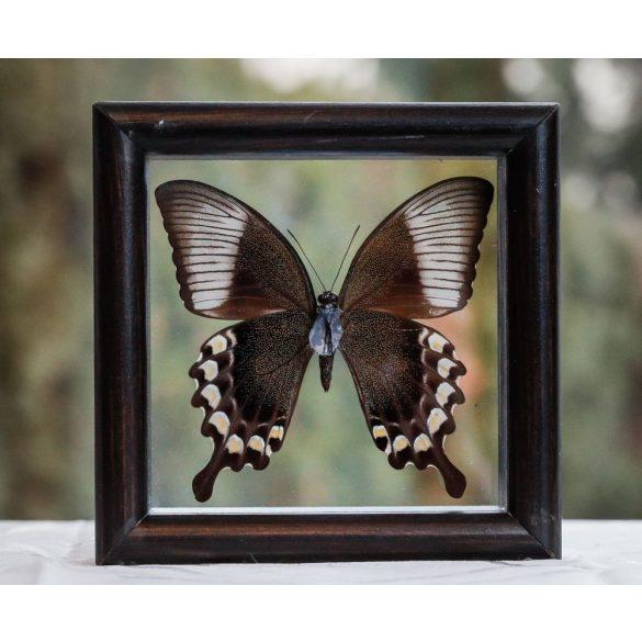Papilio blumei pillangó (Indonézia)