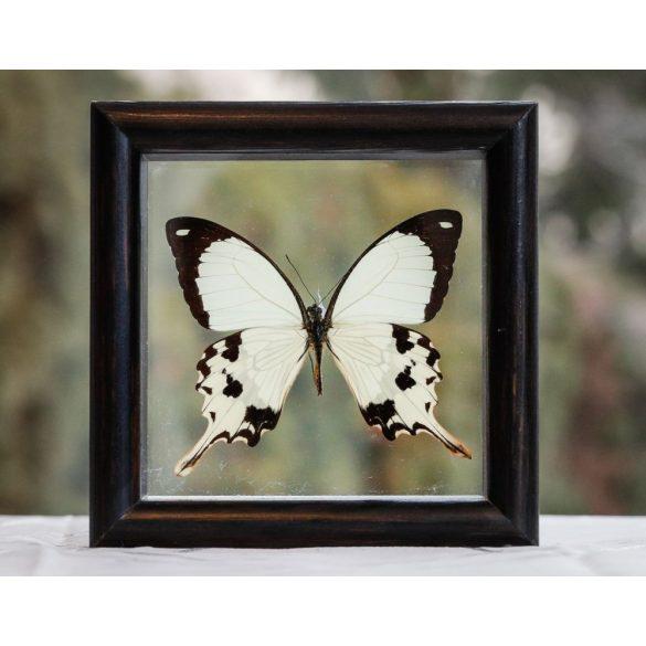 Papilio dardanus pillangó (Indonézia)