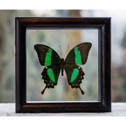 Papilio deidalus pillangó (Fülöp-szigetek)