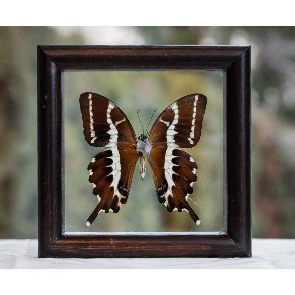 Papilio delalandai pillangó (Madagaszkár)