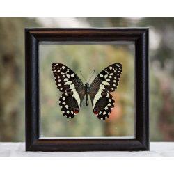 Papilio demoleus pillangó
