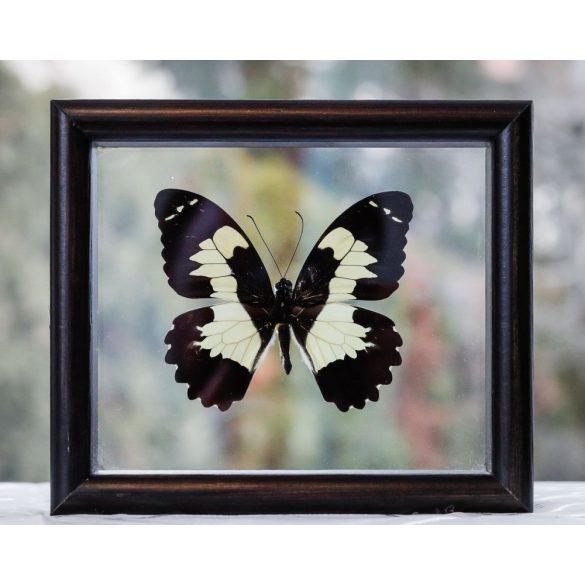 Papilio euchenor pillangó (Pápua)