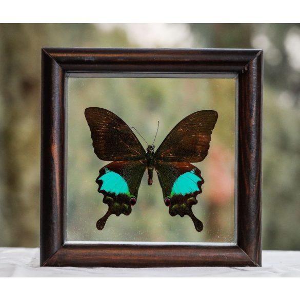 Papilio paris pillangó (Indonézia)