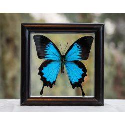 Papilio ulysses pillangó (Indonézia)