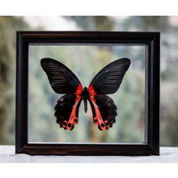 Papilio rumazowia (Fülöp-szigetek)